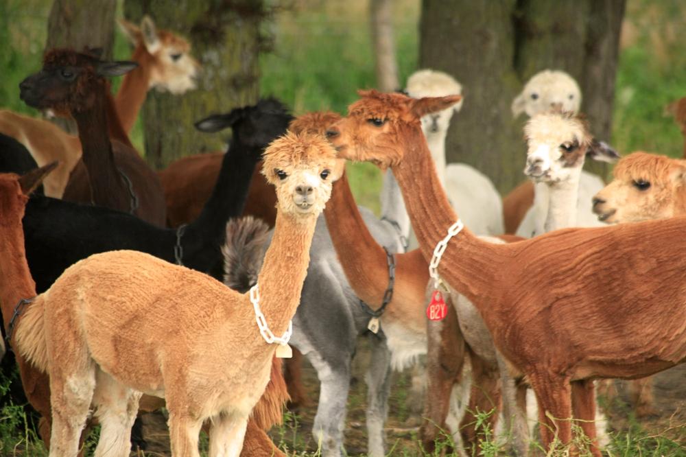 Agriculture-Alpacas1